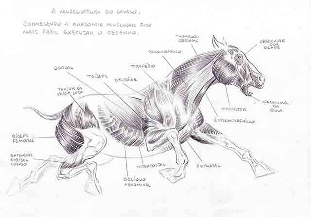 Musculatura de un caballo